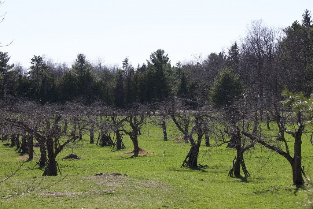 pruned orchard in spring